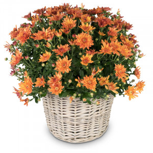 Chrysantheme (orange) im Korb